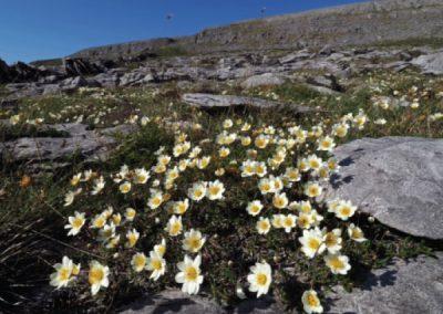 Burren National Park Flowers