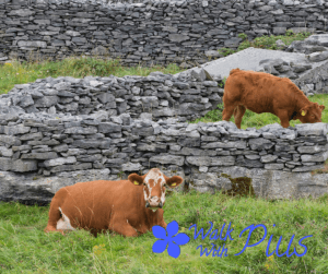 Cows on Inisheer
